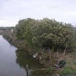 Baccharis halimifolia
